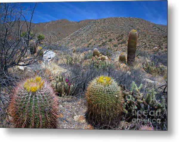 Barrel Cacti In Bloom Metal Print
