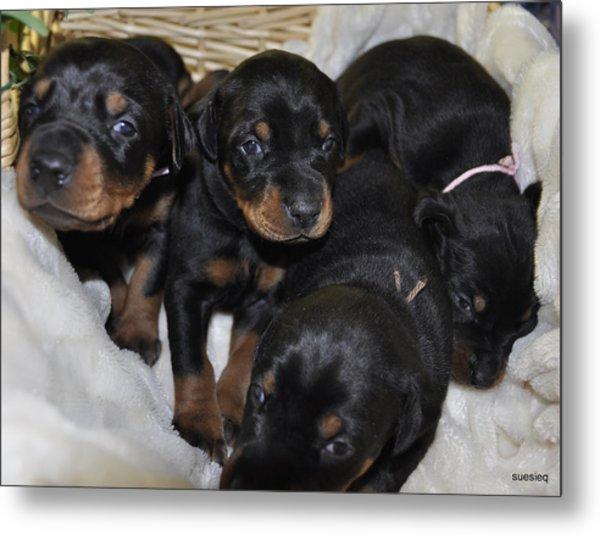 Basket Of Puppies Metal Print by Sue Rosen