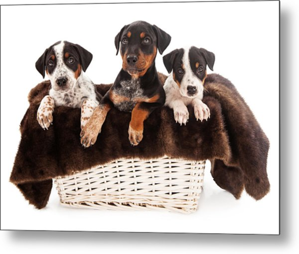 Basket Of Rottweiler Mixed Breed Puppies Metal Print