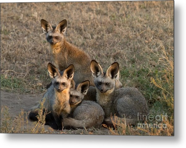 Bat-eared Foxes Metal Print by Chris Scroggins