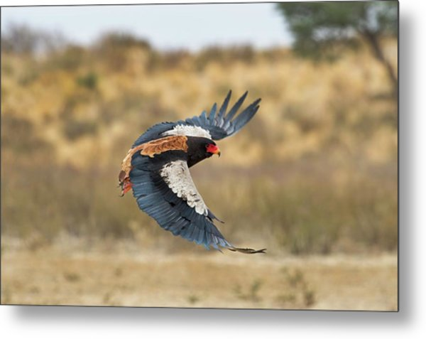 Bateleur Eagle In Flight Metal Print