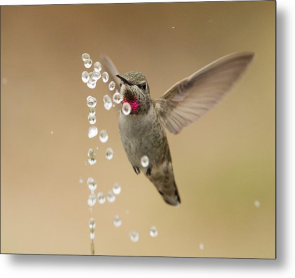 Bath Time For Anna's Hummingbird Metal Print