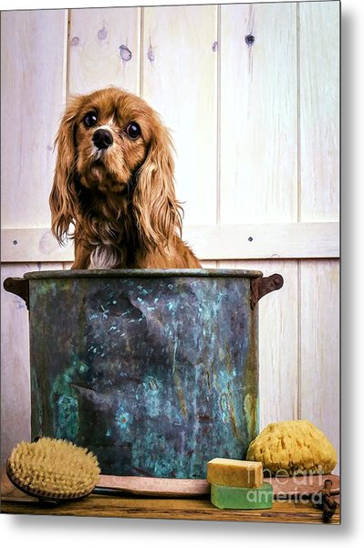 Bath Time - King Charles Spaniel Metal Print