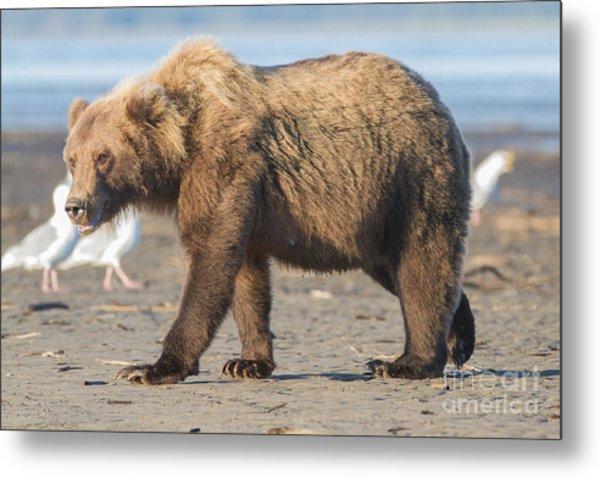 Beach Bear Metal Print