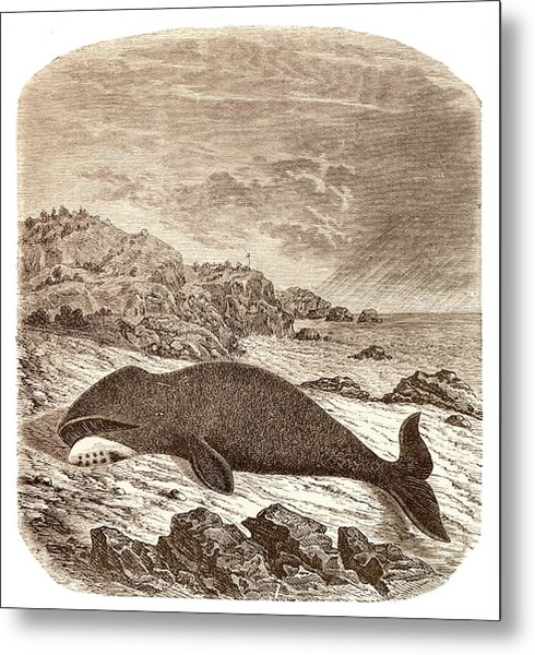 Beached Or Stranded Northern Whale Metal Print