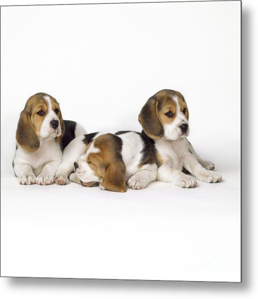 Beagle Puppies, Row Of Three, Second Metal Print