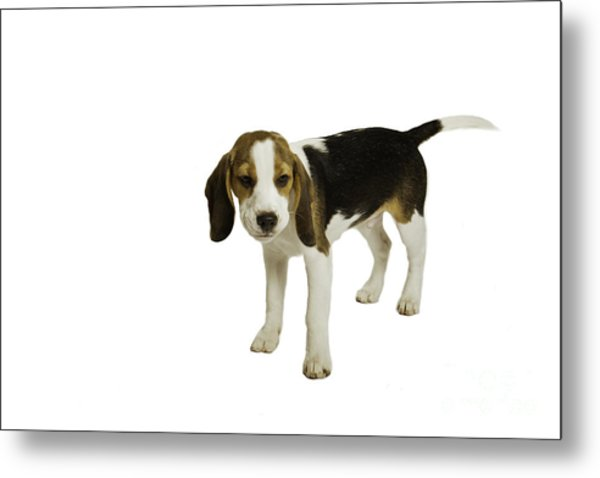 Beagle Puppy Metal Print by Lesley Rigg