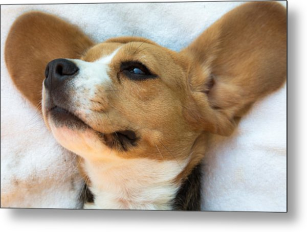 Beagles Dreams Metal Print