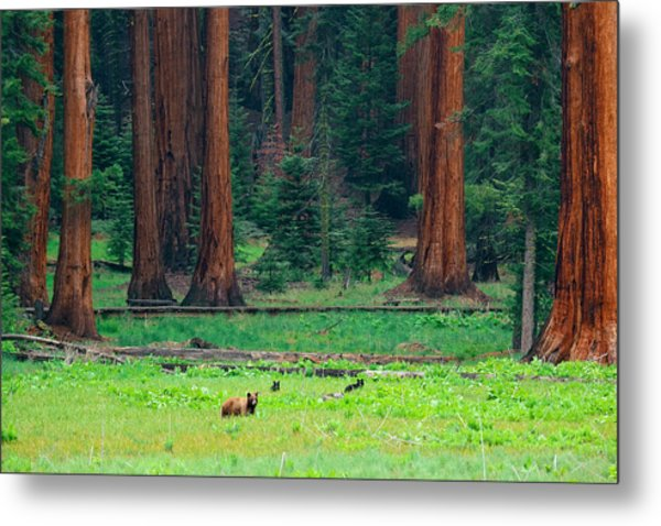 Bear In Sequoia National Park Metal Print