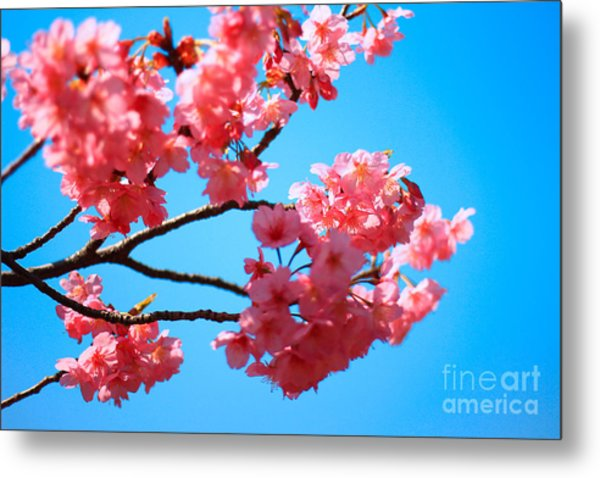 Beautiful Bright Pink Cherry Blossoms Against Blue Sky In Spring Metal Print