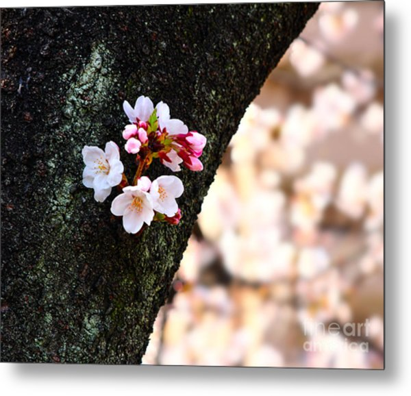 Beautiful Cherry Blossoms Blooming From Tree Trunk Metal Print