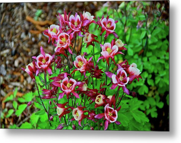 Beautiful Columbine   Metal Print