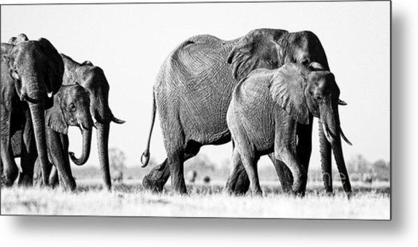 Beautiful Elephant Black And White 55 Metal Print
