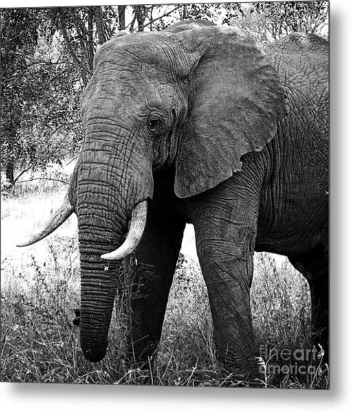 Beautiful Elephant Black And White 59 Metal Print