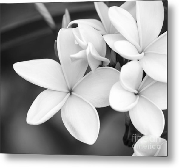 Beautiful Plumeria In Black And White Metal Print