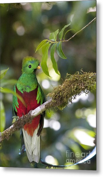 Beautiful Quetzal 1 Metal Print