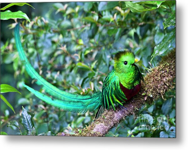 Beautiful Quetzal 3 Metal Print