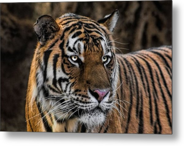 Beautiful Tiger Photograph Metal Print