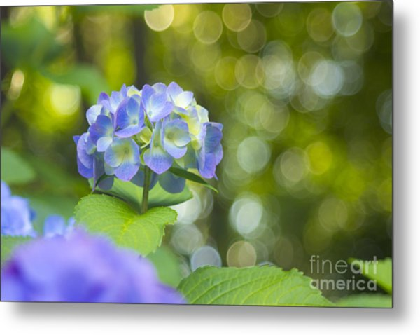 Beautiful Violet Hydrangea With Green Leaves And Bokeh Lights Metal Print