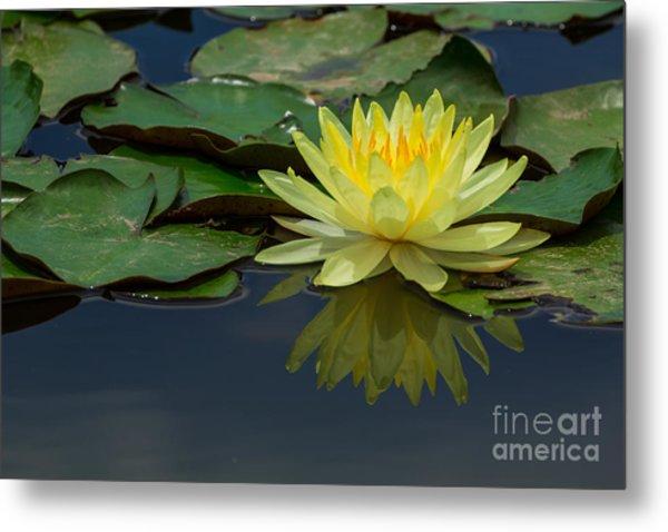 Beautiful Yellow Water Lily Metal Print