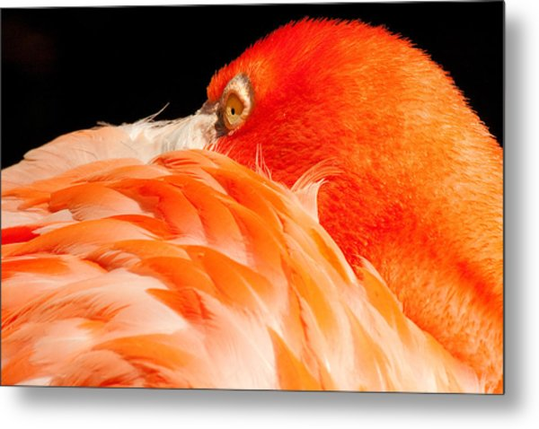 Beauty In Feathers Metal Print