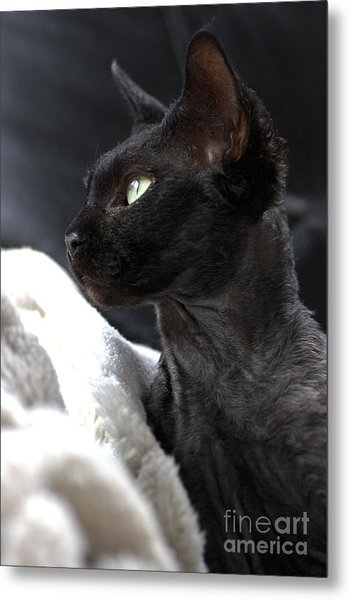 Beauty Of The Rex Cat Metal Print