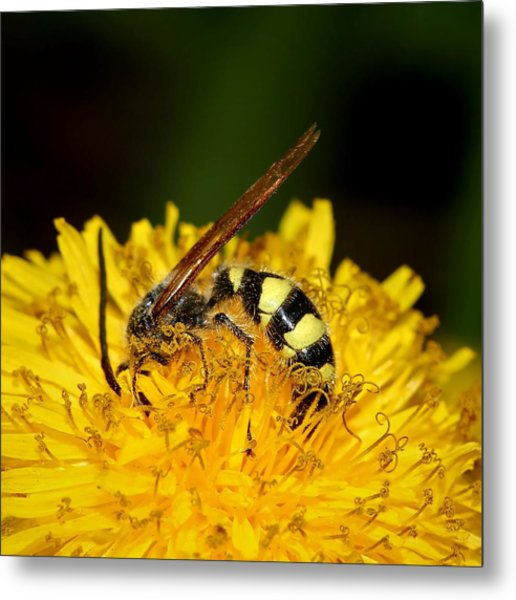 Bee Diving In Yellow Dandelion Flower Metal Print