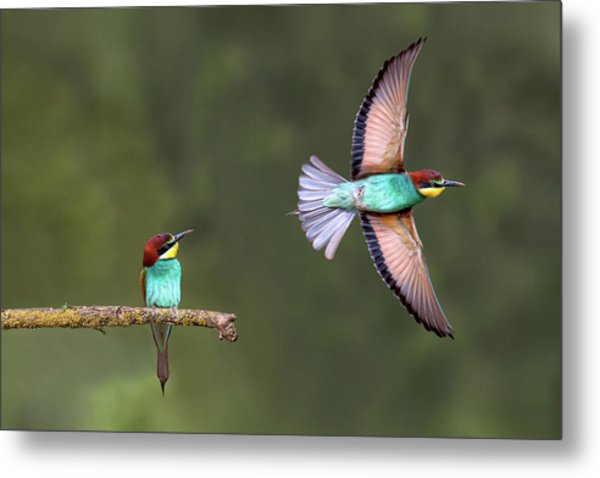 Bee-eater Going For Food Metal Print by Xavier Ortega