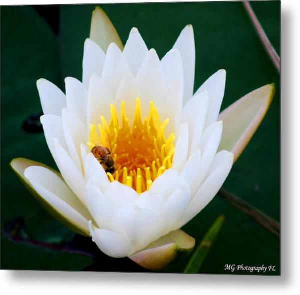 Bee In A Lily  Metal Print