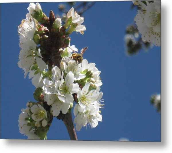 Bee On Cherry Blossoms Metal Print