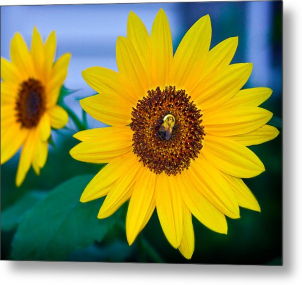 Bee On Sunflower Metal Print by Michael Fisher