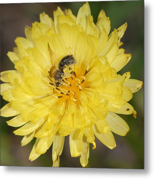 Bee On Yellow Flower Metal Print