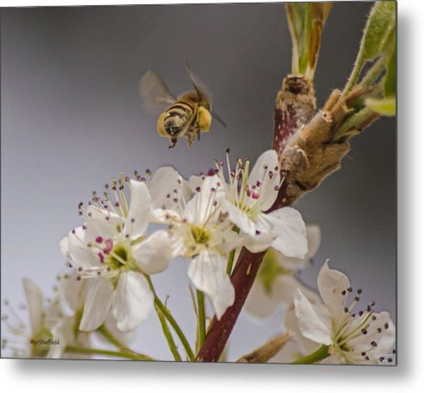 Bee Working The Bradford Pear 2 Metal Print