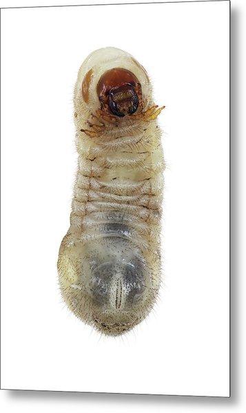 Beetle Larva Metal Print