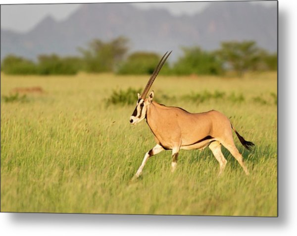Beisa Oryx Running In Awash National Park Metal Print by Tony Camacho
