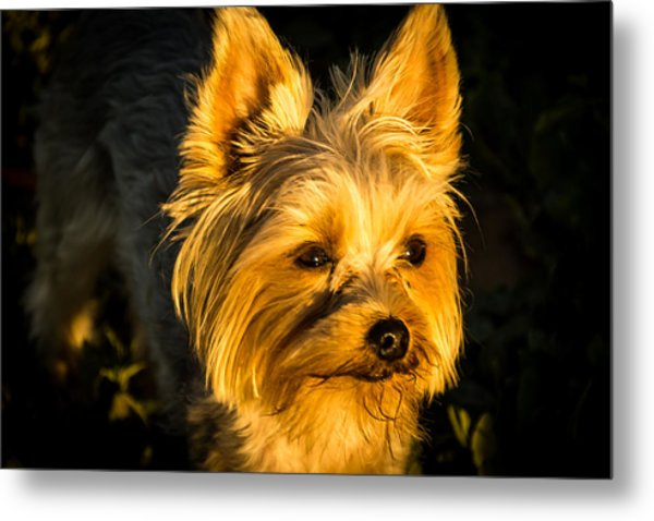Bella The Wonder Dog Metal Print