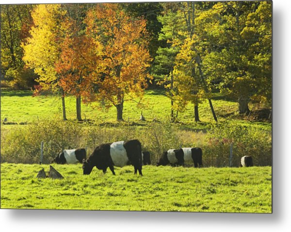 Belted Galloway Cows Grazing On Grass In Rockport Farm Fall Maine Photograph Metal Print