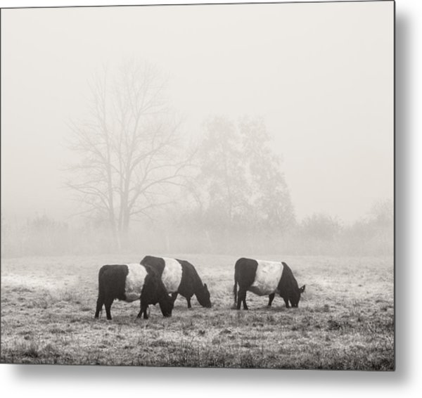 Belted Galloway Cows On Foggy Farm Field In Maine Metal Print