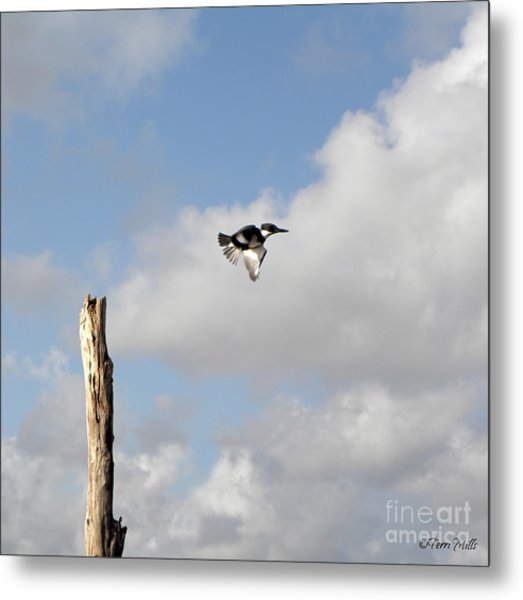 Belted Kingfisher In Flight Metal Print
