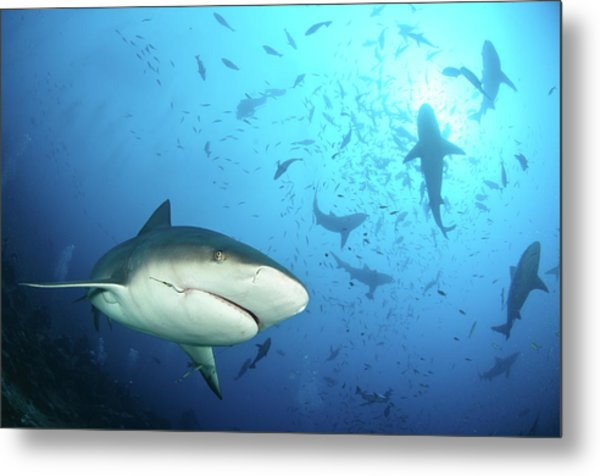 Beqa Shark Labs Metal Print