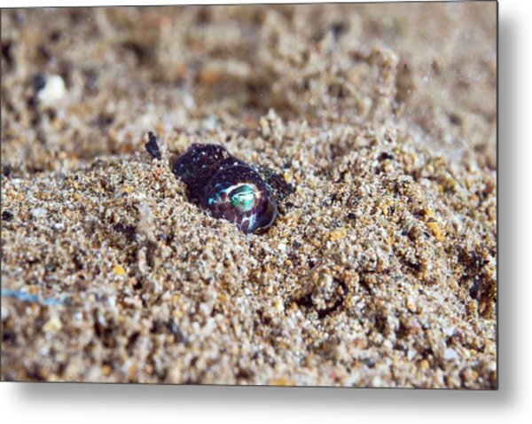 Berry's Bobtail Squid Metal Print by Scubazoo/science Photo Library
