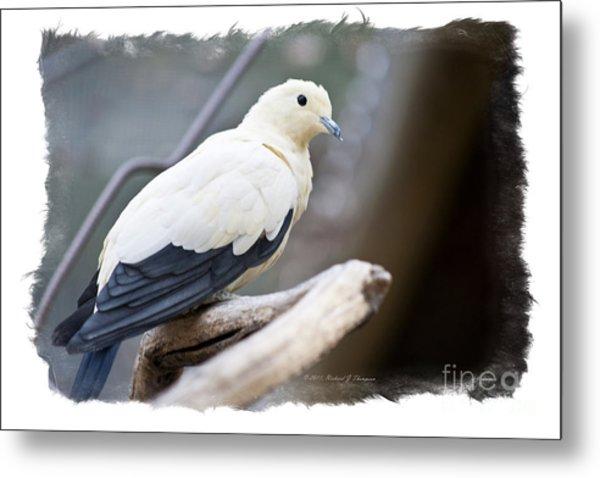 Bicolor Pigeon Metal Print