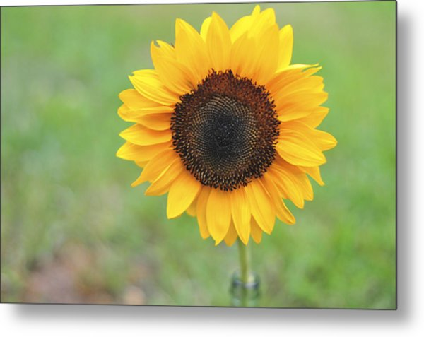 Big Bright Yellow Colorful Sunflower Art Print Metal Print