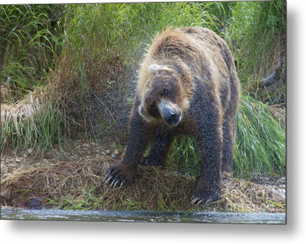 Big Brown Bear Shaking Off Water Metal Print