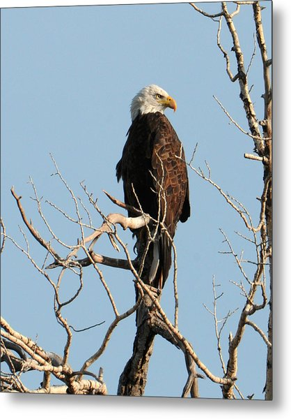 Big Horn Bald Eagle Metal Print