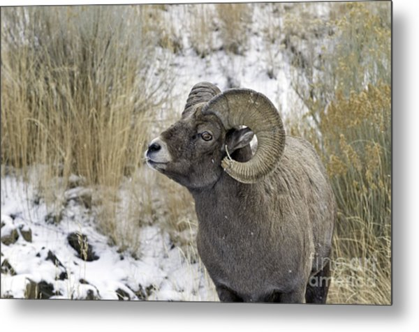 Big Horn Ram Metal Print by Bob Dowling