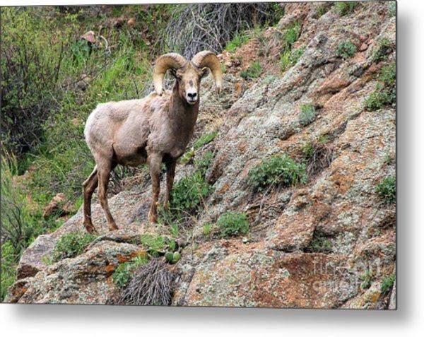 Bighorn Sheep Metal Print by Kathy Eastmond