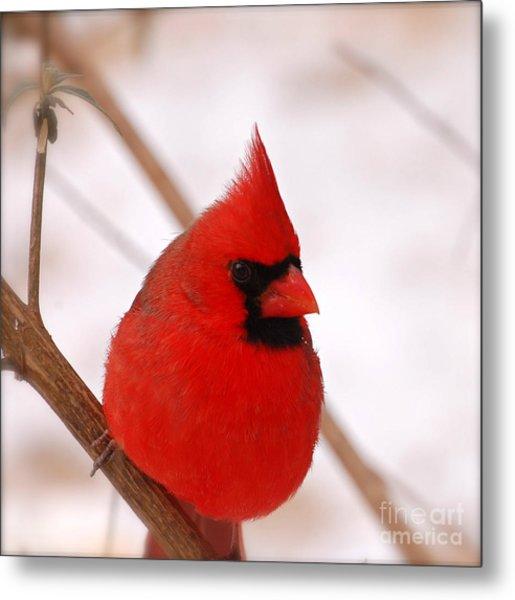 Big Red  Cardinal Bird In Snow Metal Print