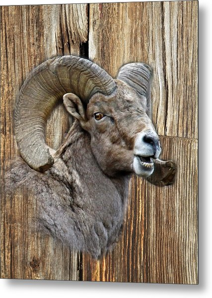 Bighorn Sheep Barnwood Metal Print