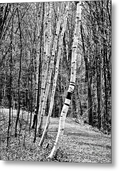 Metal Print featuring the photograph Birch Sentinels by Kristen Fox